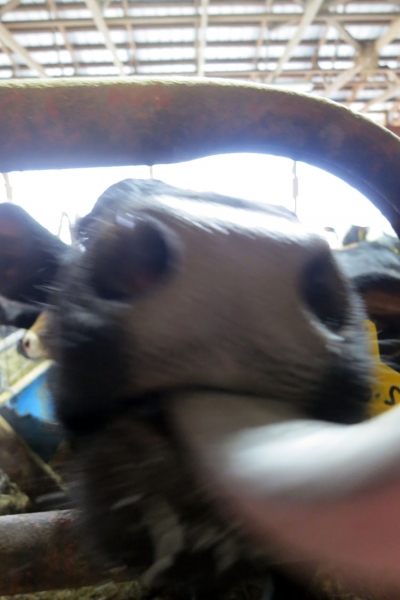 Cow licking camera